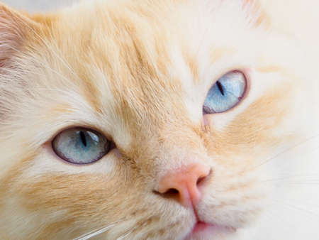 sweet young white cat with blue eyes