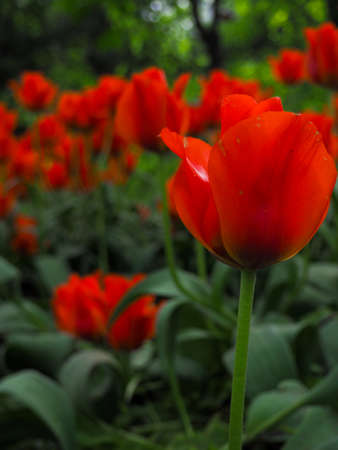 beautiful colored tulips on a field, postcard or greetingcard for motherday and easter