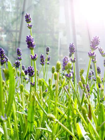Lavender field in sunlight. Stockfoto