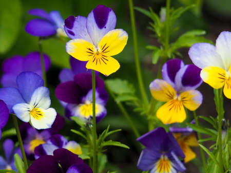 Violet pansy flower, close-up of viola tricolor in the spring garden Stockfoto