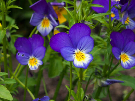 Violet pansy flower, close-up of viola tricolor in the spring garden 写真素材