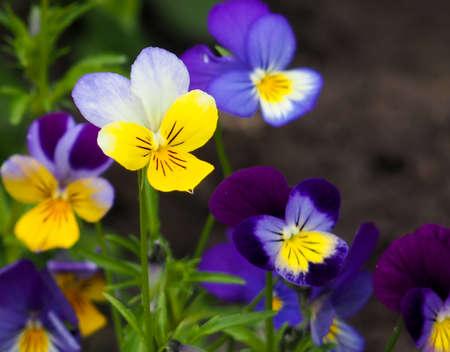 Violet pansy flower, close-up of viola tricolor in the spring garden Zdjęcie Seryjne