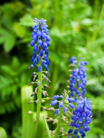 purple muscari Muscari Armeniacum Viola. Many muscari blue flowers in green. Spring muscari hyacinth flowers. Beautiful Blue spring holiday nature background with blue blossoming flowers closeup Stockfoto