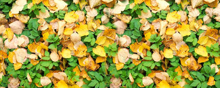 Banner for website fallen autumn yellow and green leaves on grass in sunny morning light.