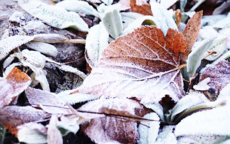 hoarfrost leaves as background, background, autumn scene. Dry maple leaves, covered with frost, on the ground in the fall.
