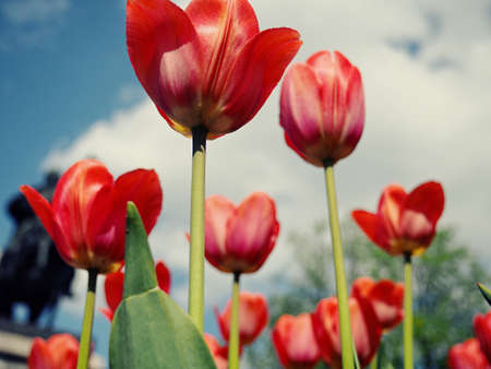 red tulips in the field with wide angle lens from below, very nice blue cloudy sky. Selective focus