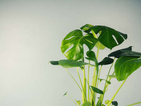 monstera flower on a table against a blue wall, space for text. Monstera or Swiss cheese plant potted in on a table with blue wall background copy space. Day light. Stock fotó