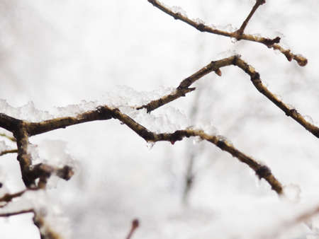 Frozen bare tree branches in the ice. 版權商用圖片