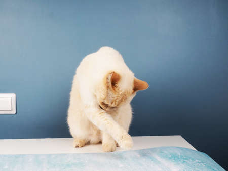 White ginger cheeky cat licks his lips sitting on a table on a blue background.