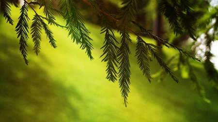 Banner green branch with needles, Christmas tree, thuja, blurred background for design.