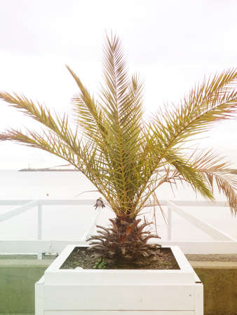 Tropical potted palm tree on the street against the background of the sea, a plant in a natural environment. 版權商用圖片