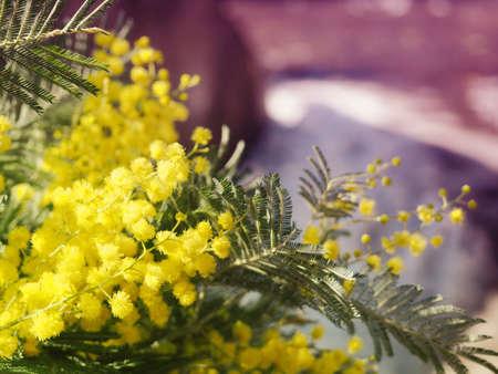 Banner Bright Yellow Mimosa Flowers. 版權商用圖片