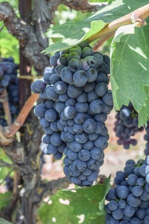 Close-up shot of a single cluster, and a few partial clusters of Zinfandel Grapes