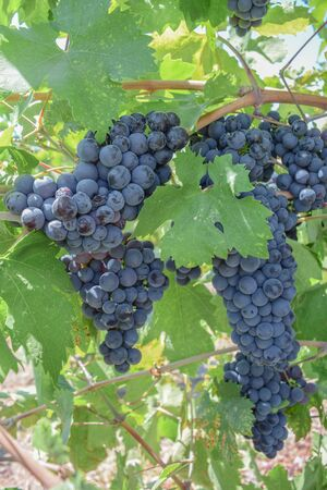 Two Zinfandel grape clusters and grape leaves Stock Photo