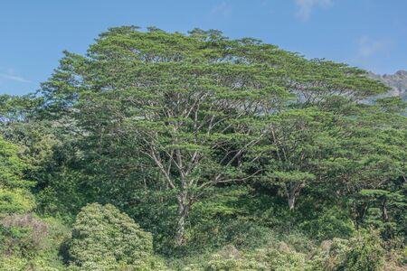 Moluccan のネムノキの分離ショット 写真素材 - 83627117