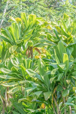 Isolated shot of a tropical Ti plant, with bright green and yellowish leaves