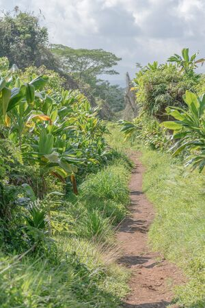 Lush portion of the Kuilau Ridge Hiking Trail, on Kauai Imagens