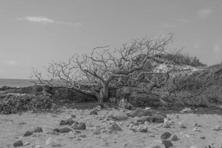 Zwart en wit van een dode boom in het zand, met rotsen, struiken en de oceaan op de achtergrond, op de Heritage Trial, op Kauai Stockfoto