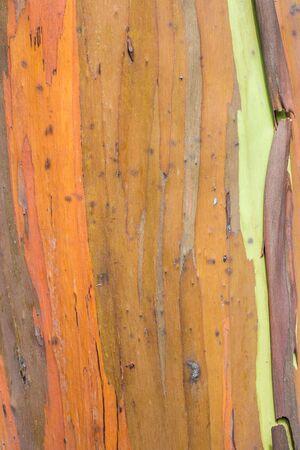 레인 보우 유칼립투스 나무 껍질, 주로 오렌지의 가까이 절연 스톡 콘텐츠