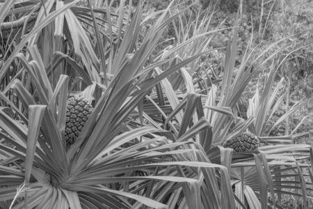 Tourist pineapple plant in black and white, close-up Zdjęcie Seryjne