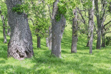 複数のクルミの木の幹、葉、緑の草 写真素材 - 83833501
