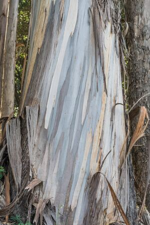 pealing: Isolated shot of a Eucalyptus tree trunk, with colorful, pealing bark