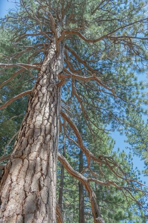 Looking up a giant Sequoia Tree, with blue sky background Stock Photo