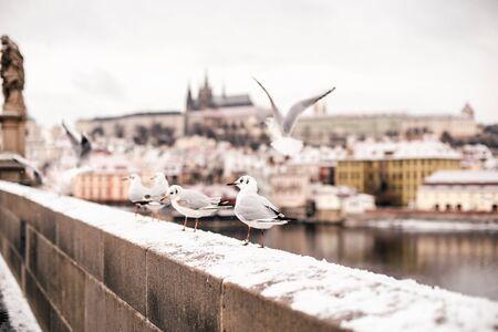 Famous seagulls flying around The Charles Bridge over Vltava river in Prague captured in winter.