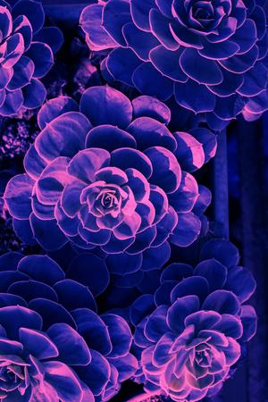 Top view succulent toned ultraviolet 版權商用圖片