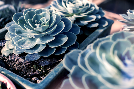 Beautiful large succulent with water drop in a pot front view  Stock Photo