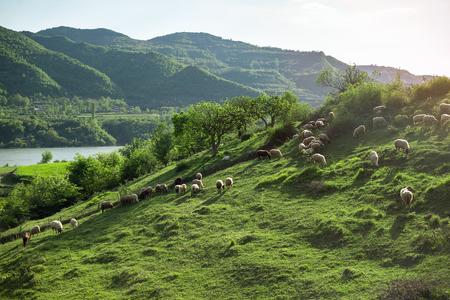 Sheep on a hill Albania nature Stockfoto