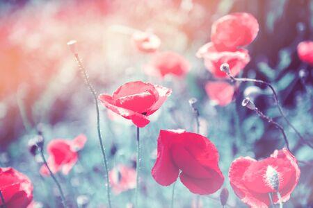 Close up poppy head. Red poppy flowers field Stock Photo