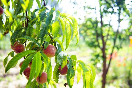 Ripe sweet peach fruits growing on a peach tree branch