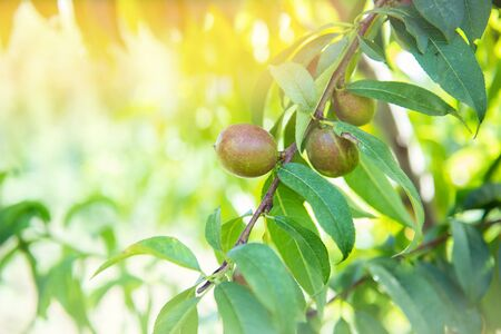 Ripe sweet fruits growing on a peach tree branch