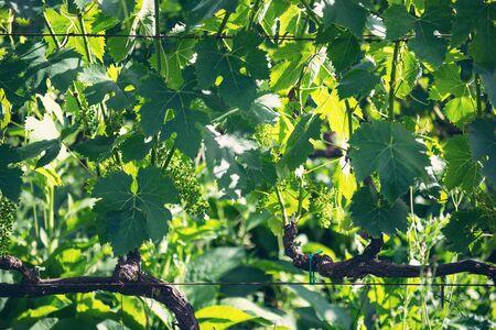 Green vineyard grape harvest summer