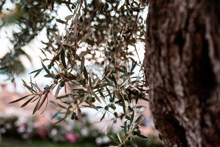 Olives on branch. Olive trees garden, mediterranean olive field.