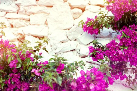 Purple bougenville flowers with white brick background Zdjęcie Seryjne - 129255148