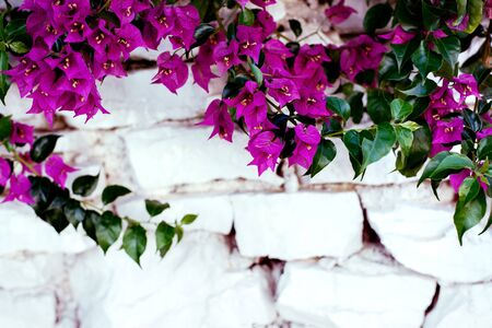 Purple bougenville flowers with white brick background Zdjęcie Seryjne - 129255290