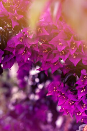 Purple bougenville flowers with white brick background
