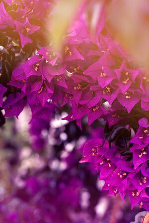 Purple bougenville flowers with white brick background Zdjęcie Seryjne - 129255296