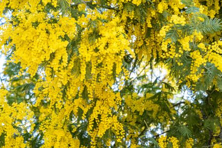 Blooming mimosa tree branches. Spring holiday blossom backdrop.