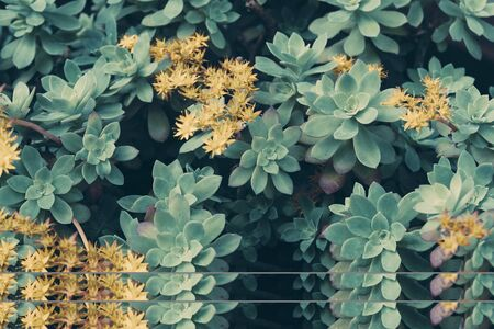 Blooming succulents floral background