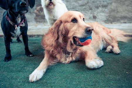 Owner training Golden Retriever dog