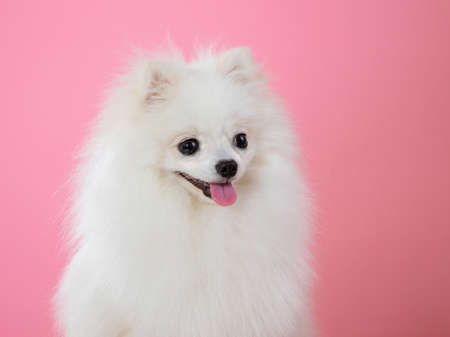 white spitz on a pink background, funny dog. High quality photo