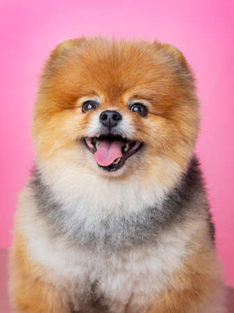 red spitz on a pink background, funny dog