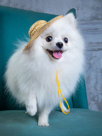 white spitz in a salty hat sits on a blue chair, a funny dog Archivio Fotografico