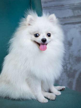 white spitz sits in a chair, funny dog Archivio Fotografico