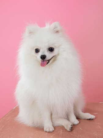 white spitz on a pink background, funny dog