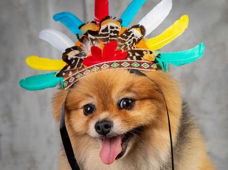 red spitz, funny dog in cap with feathers on a gray background Zdjęcie Seryjne