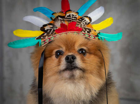 red spitz, funny dog in cap with feathers on a gray background Stok Fotoğraf